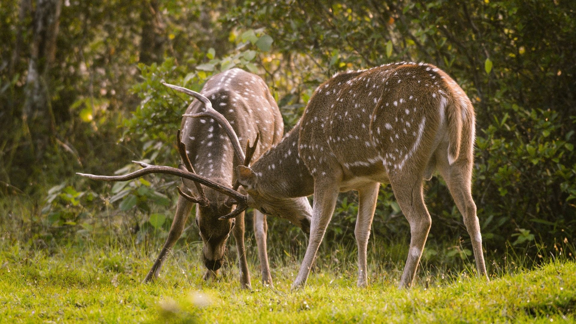Deer Fight Spotted in Wilpattu National Park