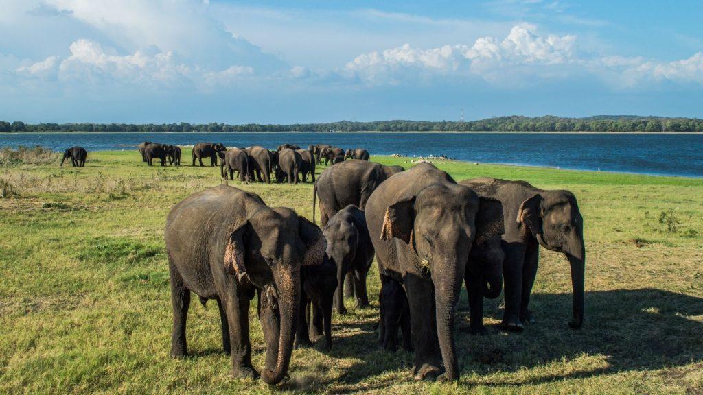 Herd of Elephants in Minneriya National Park