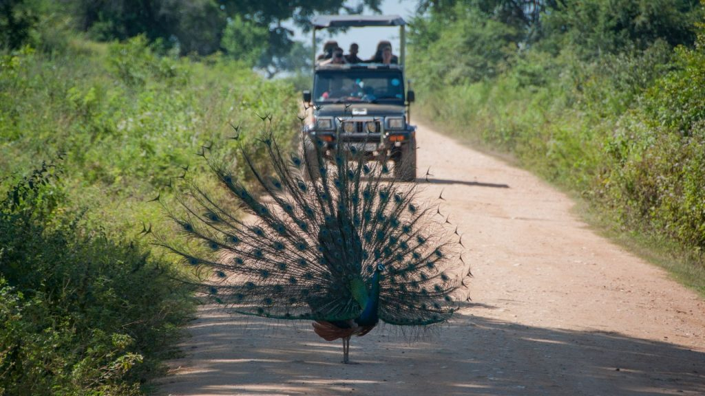 Peacock spotted by tourists at Udawalawe National Park