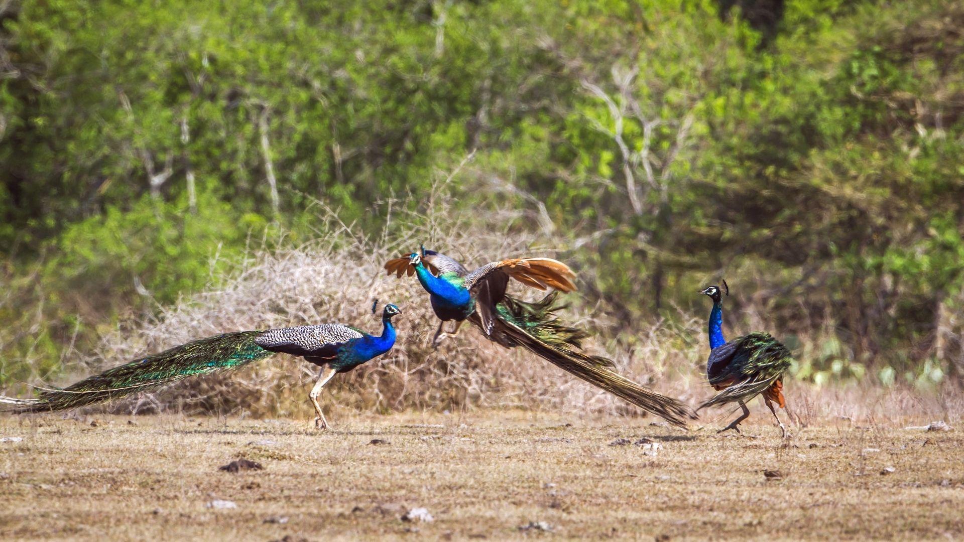 Peacocks Birds in Bundala National Park