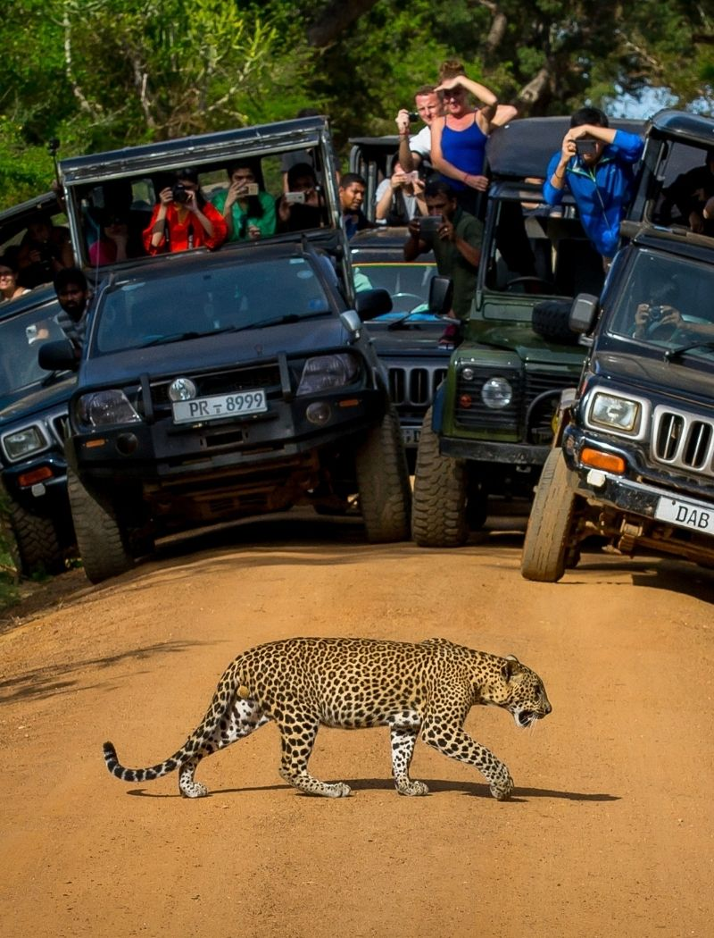 Tourists watching Leopard crossing the road in Yala National Park